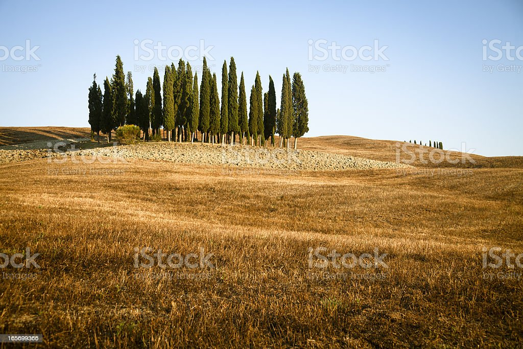 Group of cypress trees at Val d'Orcia, Tuscany. royalty-free stock photo