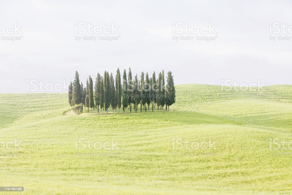 group of cypress trees on rolling hills ( high key ) royalty-free stock photo