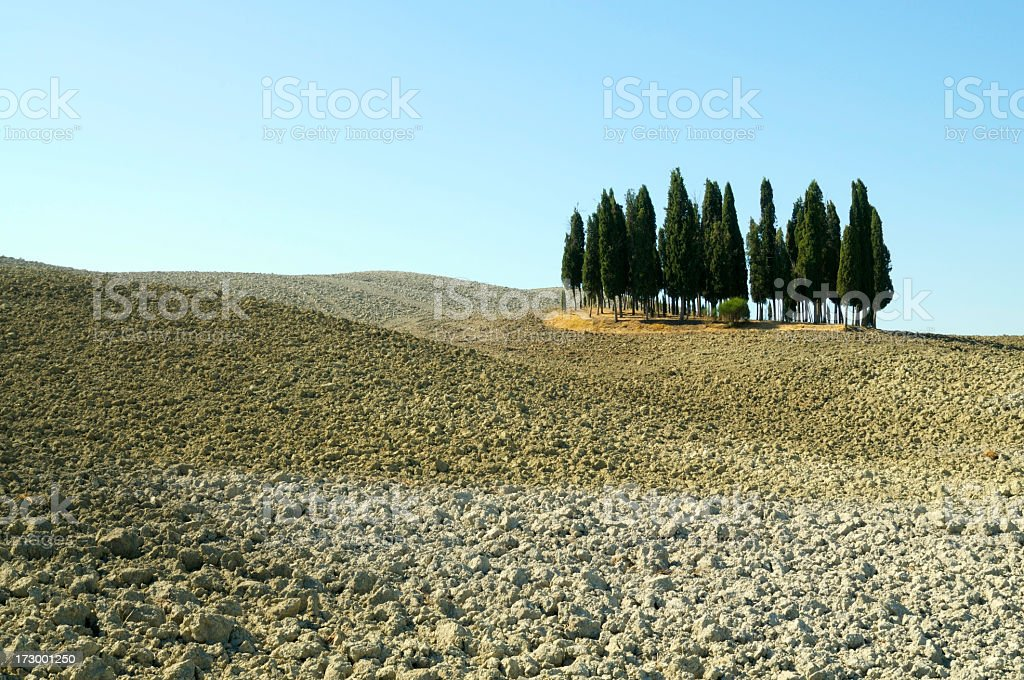 Group of cypress trees royalty-free stock photo