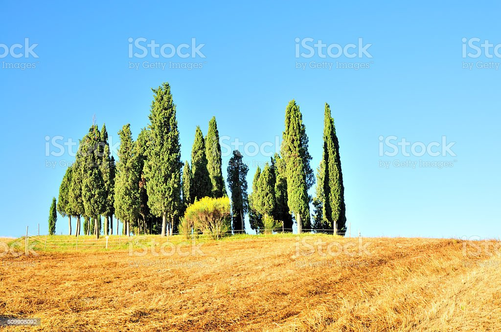 Group of Cypress Trees, Val d'Orcia, Tuscany, Italy stock photo