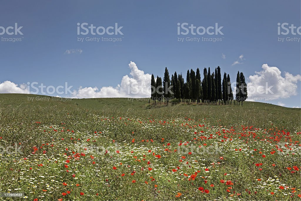 Group of Cypresses I royalty-free stock photo