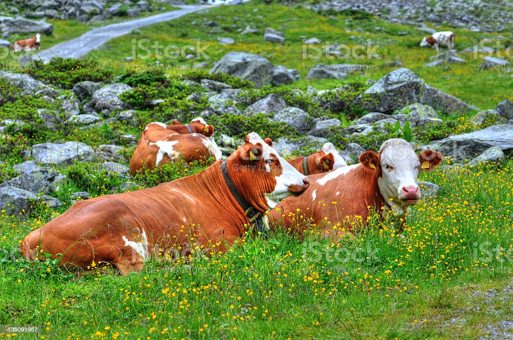 HDR group of Dairy Cattle stock photo