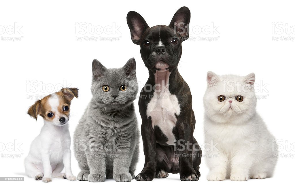 Group of dogs and cats, sitting, white background. stock photo