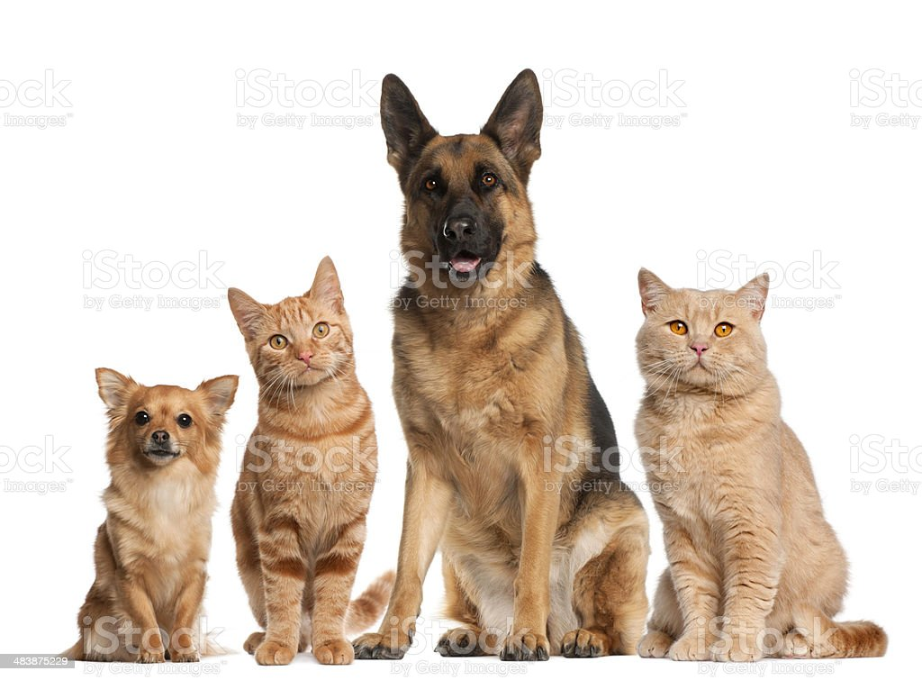 Group of dogs and cats sitting, white background royalty-free stock photo