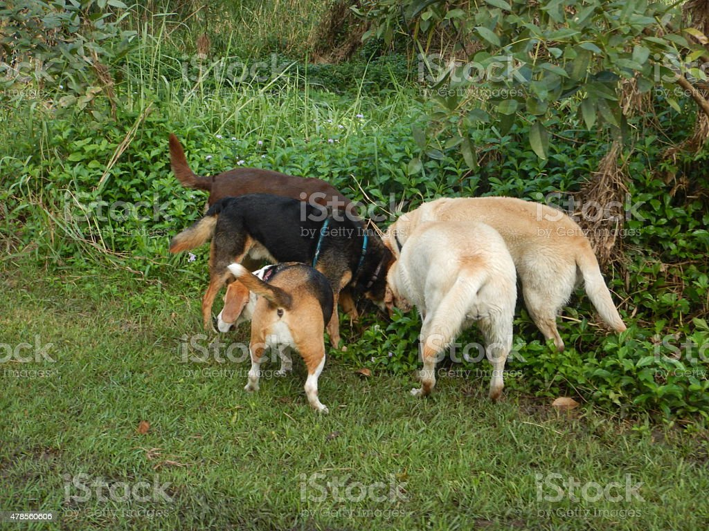 Group of dogs digging for something in parklands stock photo
