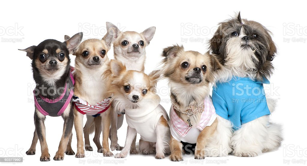 Group of dogs dressed-up : 5 chihuahuas and a Shih Tzu royalty-free stock photo