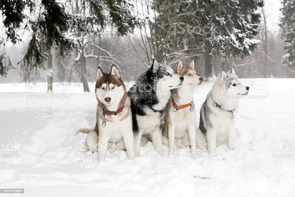 Group of dogs in snow drifts. husky Hamming. stock photo
