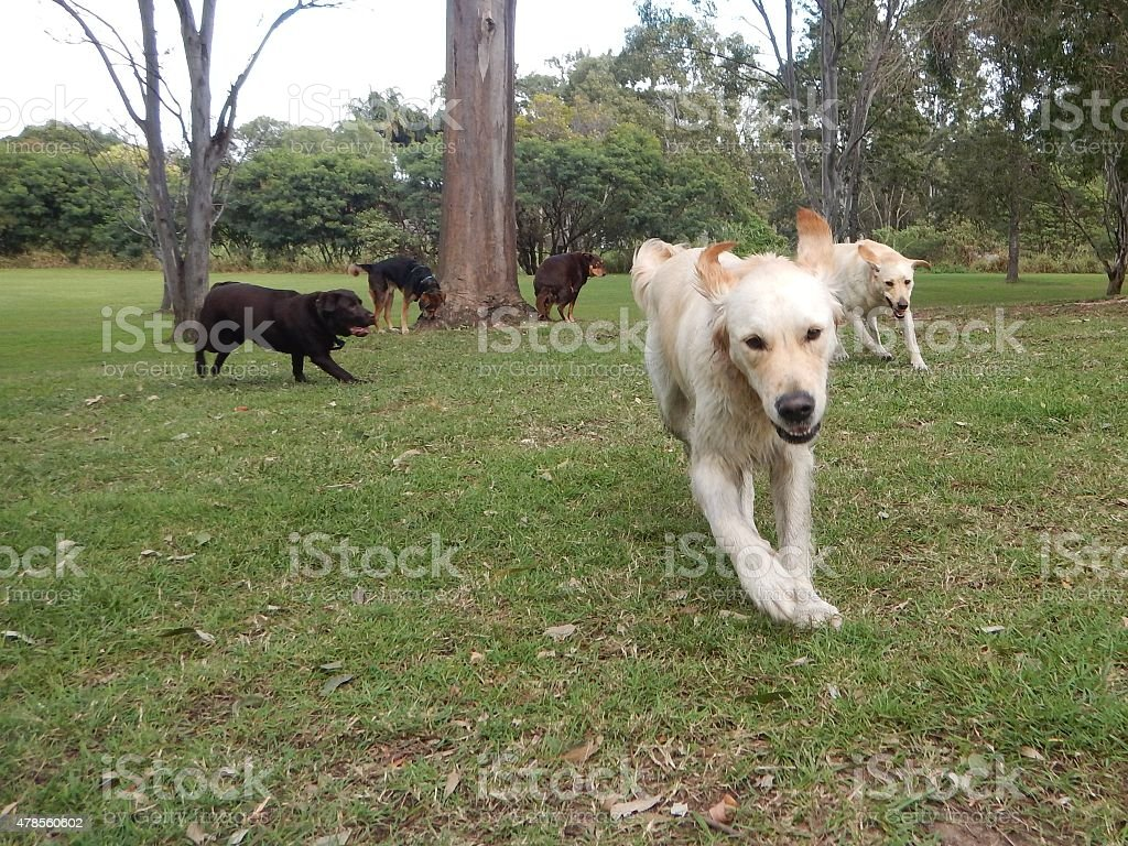Group of dogs running through parklands stock photo