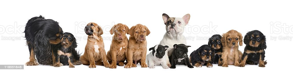 Group of dogs sitting against white background royalty-free stock photo