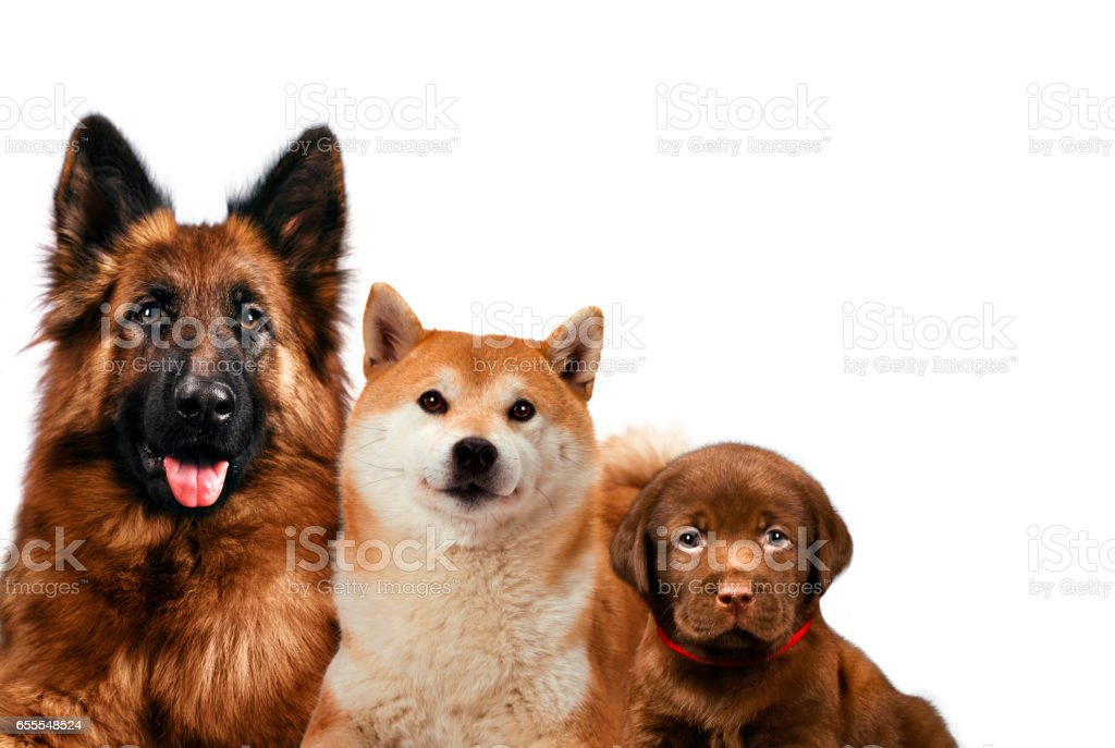 Group of dogs sitting in front of a white background stock photo