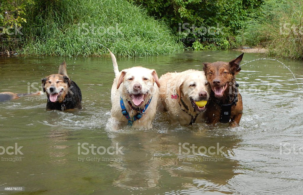 Group of  dogs  swimming in a creek stock photo