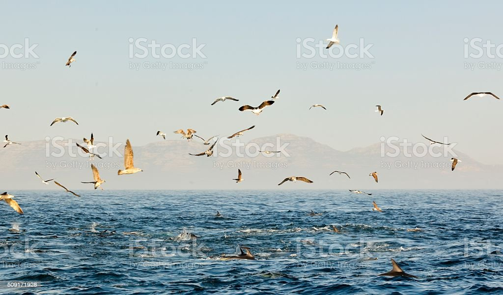 Group of dolphins and flock of birds stock photo