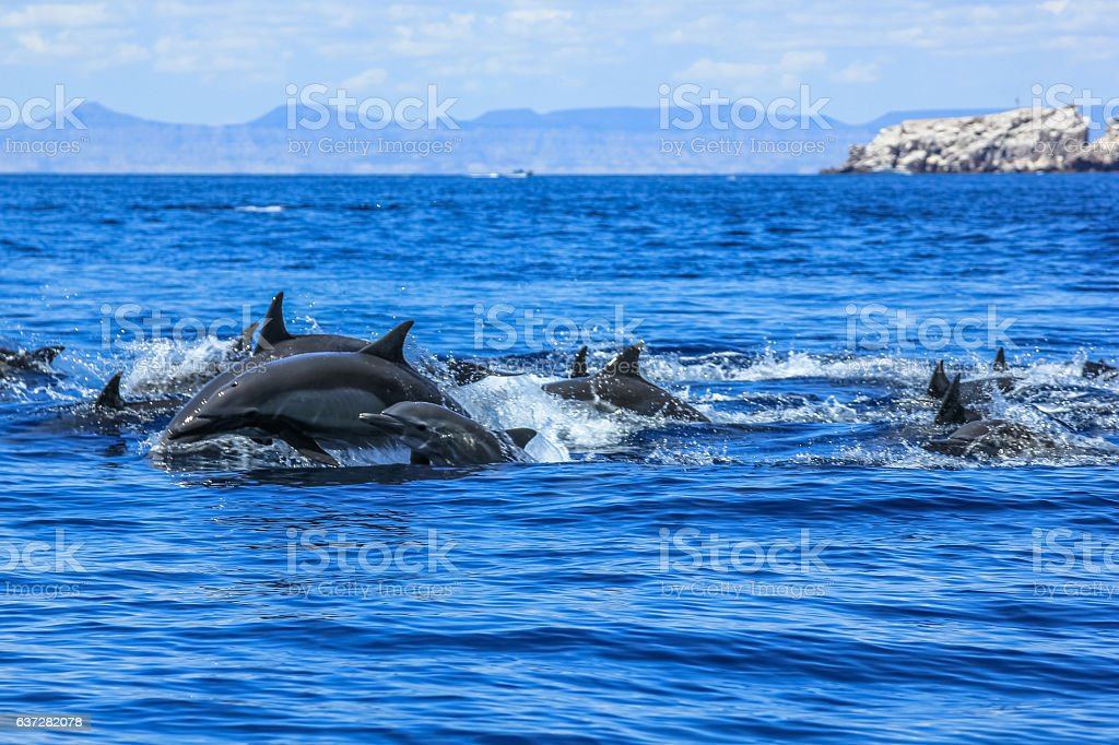 Group of Dolphins jumping stock photo
