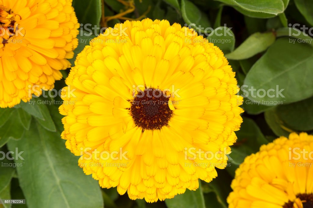 Group of Double Yellow Calendula Officinalis with Dark Heart stock photo