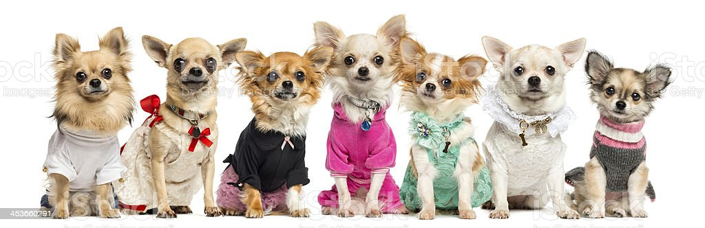 Group of dressed up Chihuahuas, isolated on white stock photo