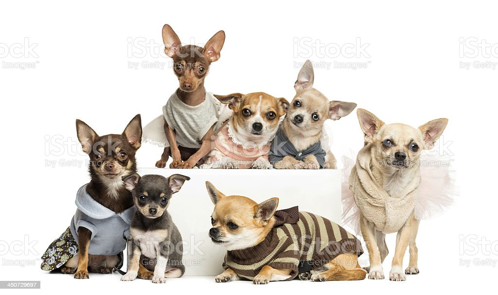 Group of dressed-up Chihuahuas, isolated on white royalty-free stock photo
