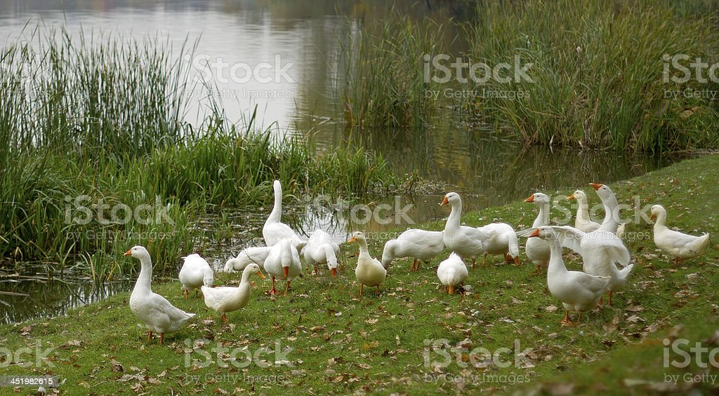 group of duck stock photo