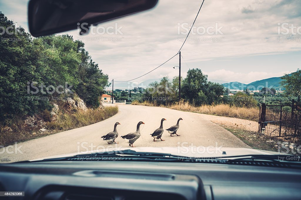 Group Of Ducks Crossing The Road stock photo