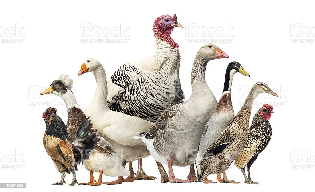 Group of Ducks, Geese and Chickens, isolated on white stock photo
