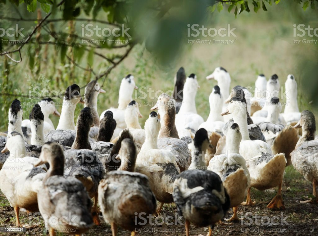 Group of Ducks royalty-free stock photo