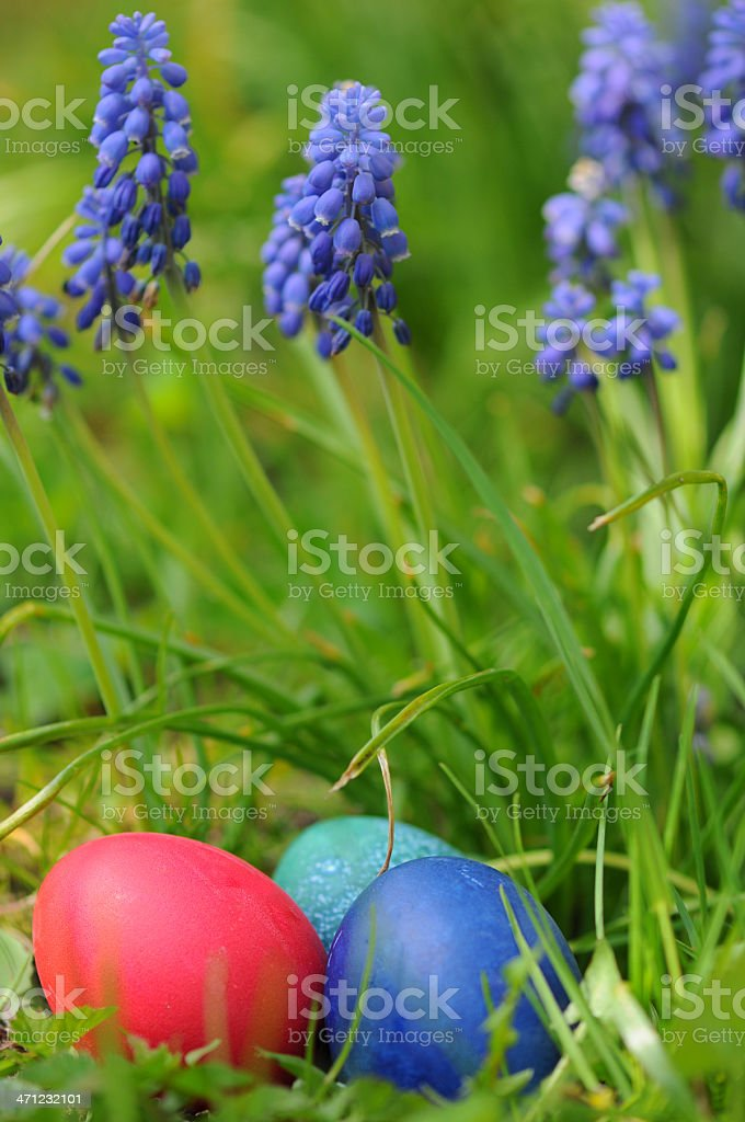 group of easter eggs under grape hyacinths (Muscari) stock photo