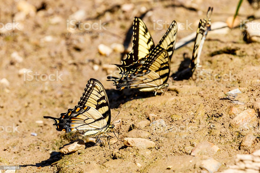 Group of Eastern Tiger Swallowtail Butterflies Puddling On Mud stock photo