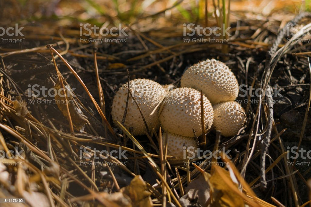 Group of edible mushrooms gray Puff-Ball growing in the forest among needles. Close u stock photo