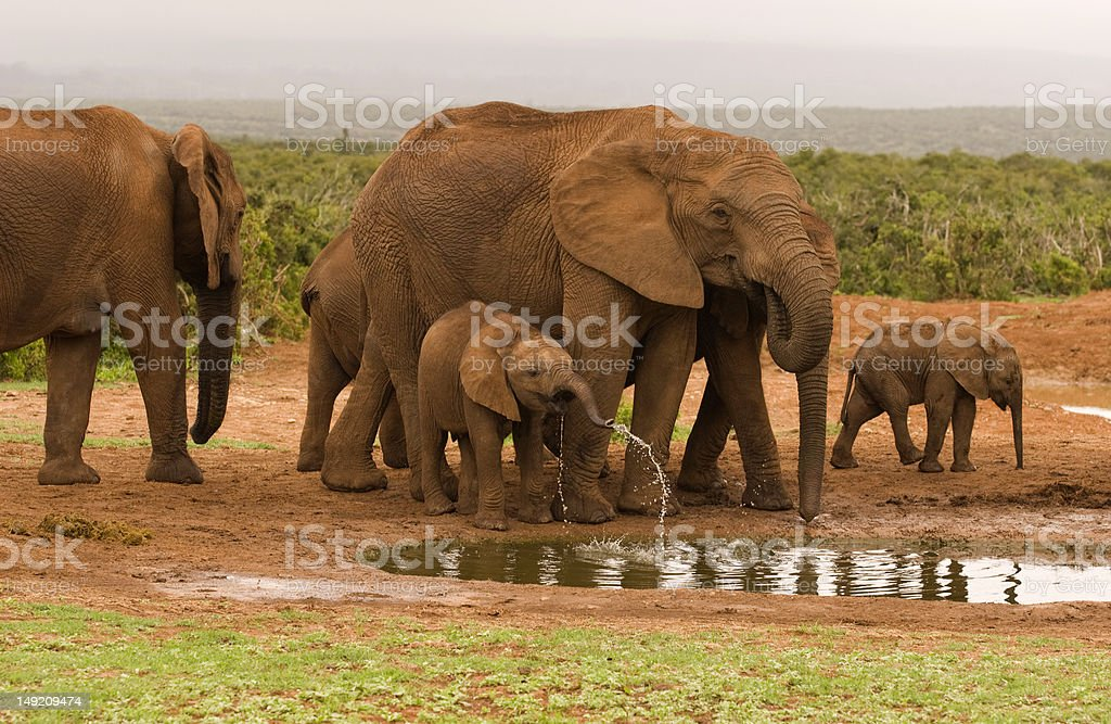 Group of elephant at a drinking hole royalty-free stock photo