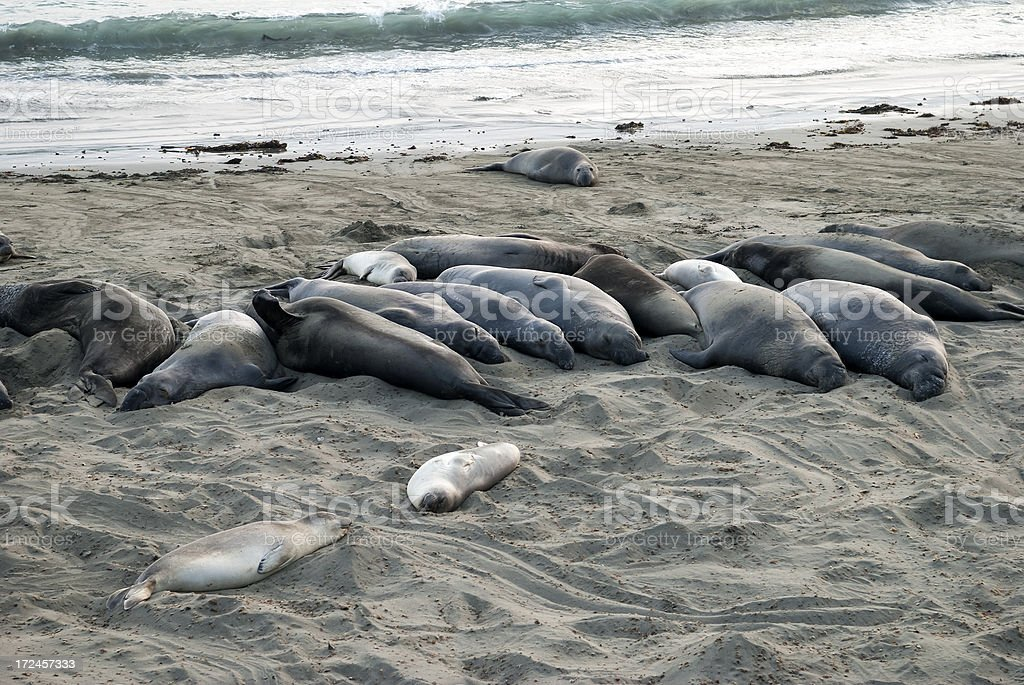 Elephant seals napping on California beach royalty-free stock photo