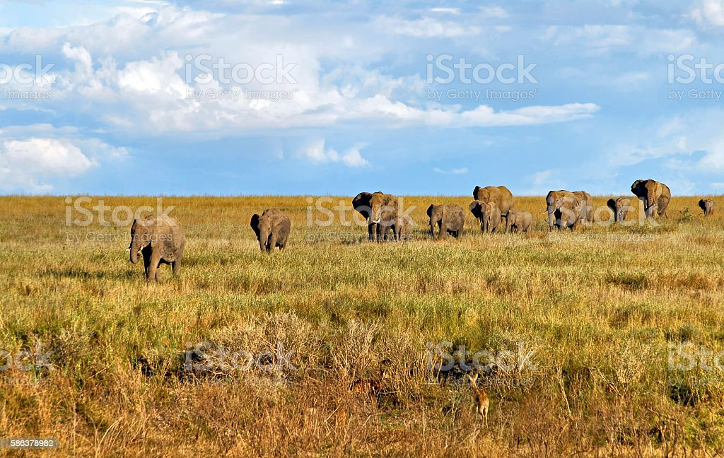 Group of elephants in a row  coming back from river stock photo