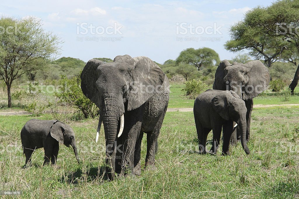group of Elephants in Africa royalty-free stock photo