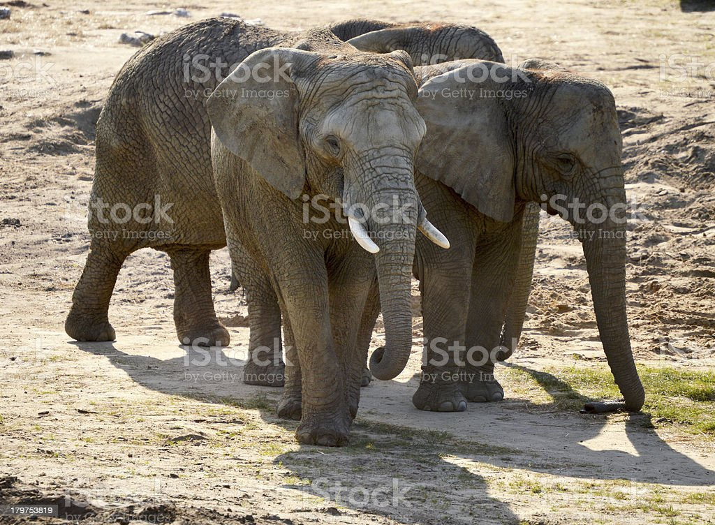Group of elephants in natural environment royalty-free stock photo