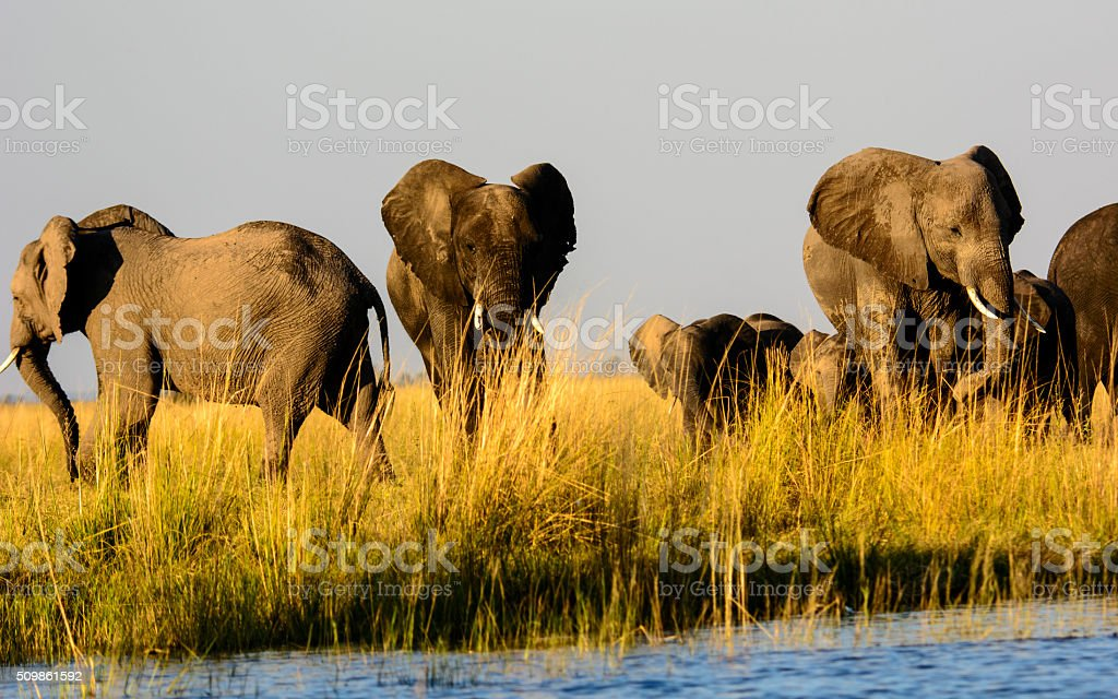 Group of elephants on the banks of the Chobe river stock photo