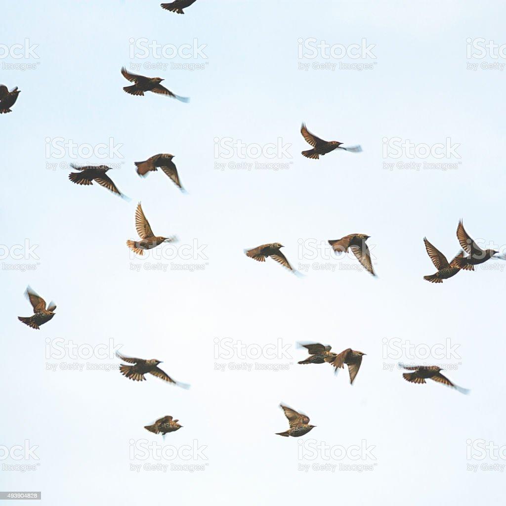 Group of European starling [Sturnus vulgaris] stock photo