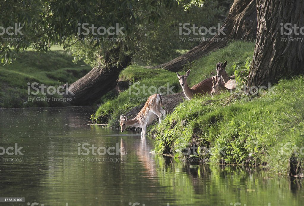 Group of Fallow Deer at Water stock photo