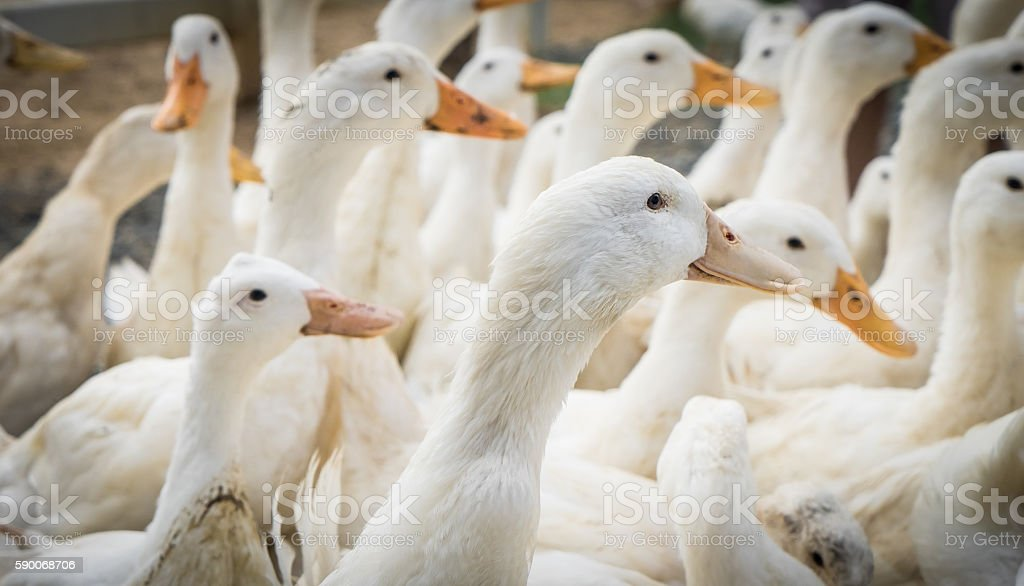 Group of farm white duck facing same way stock photo
