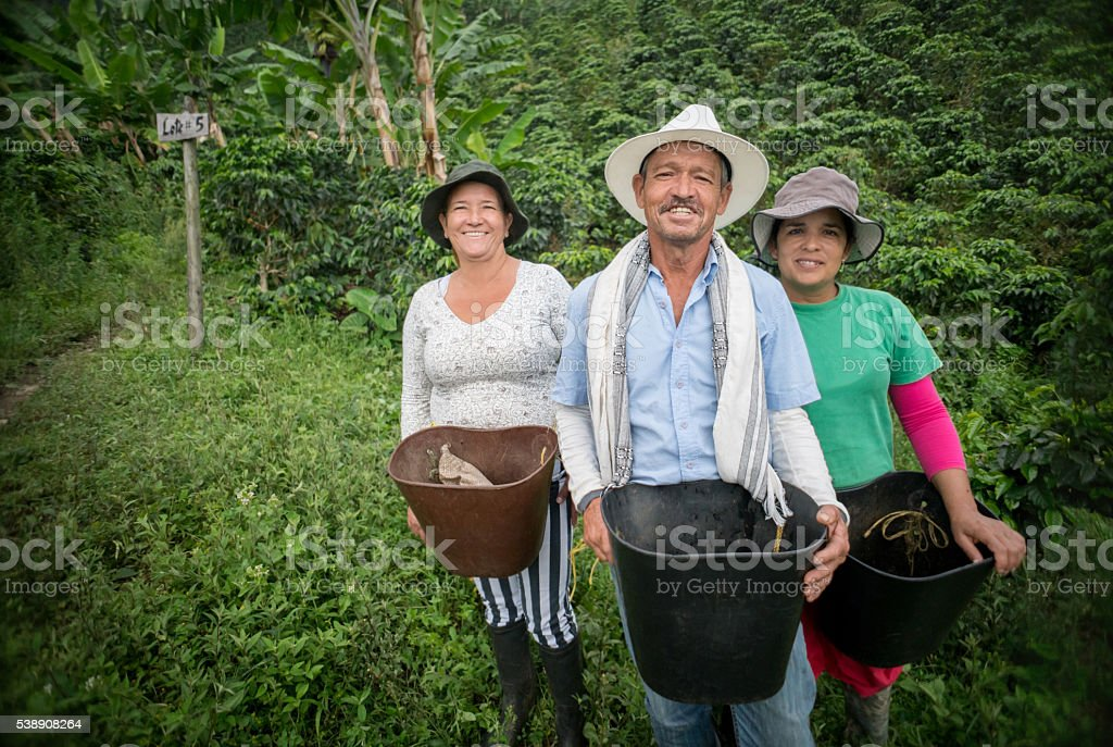 Group of farmers collecting coffee beans stock photo