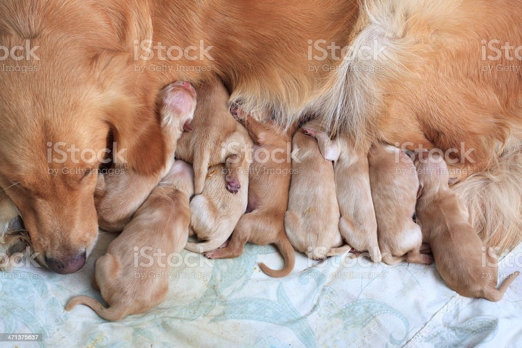 group of first day golden retriever puppies natural shot stock photo