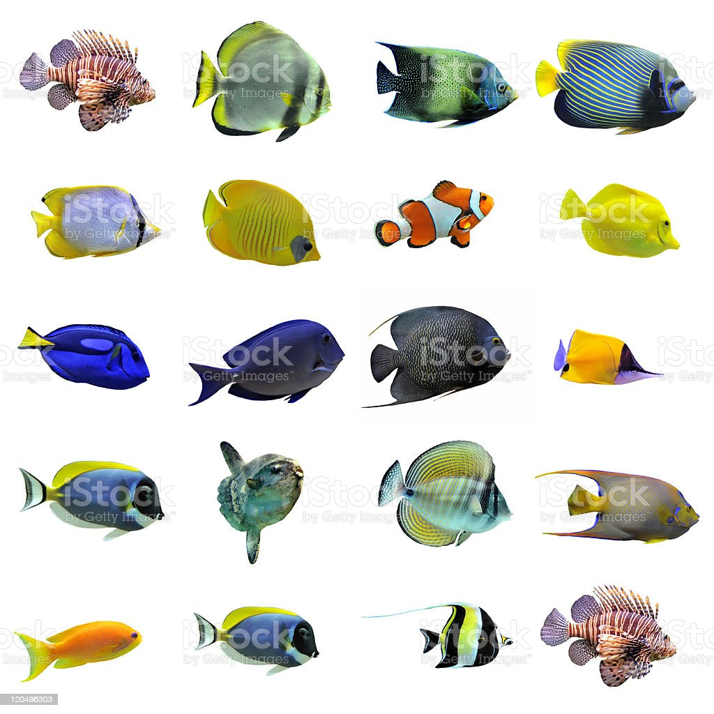 group of fishes royalty-free stock photo