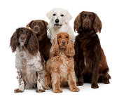 Group of five dogs, including Labrador retriever