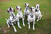 Group of five obedient Dalmatian dogs sitting on green grass