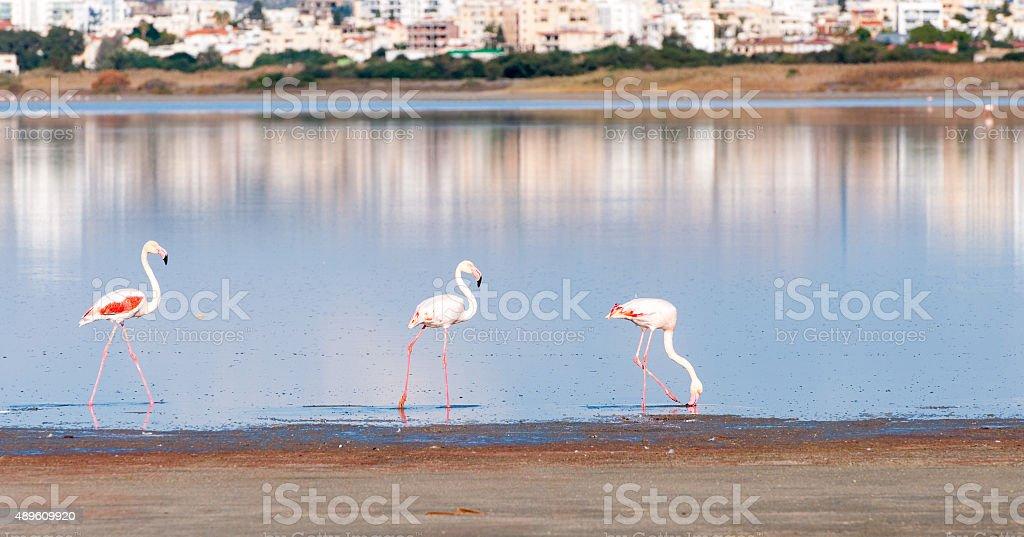 Group of Flamingo Birds walking on a lake stock photo