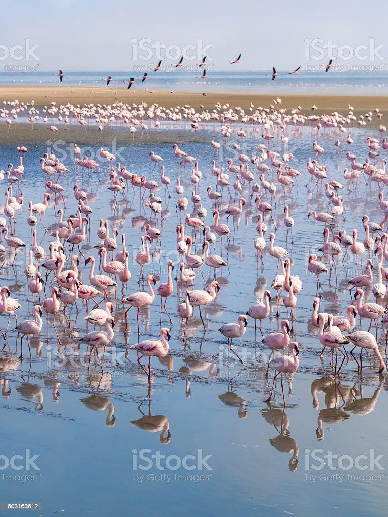 Group of flamingos on Walvis Bay Lagoon. stock photo