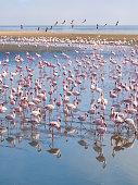 Group of flamingos on Walvis Bay Lagoon.