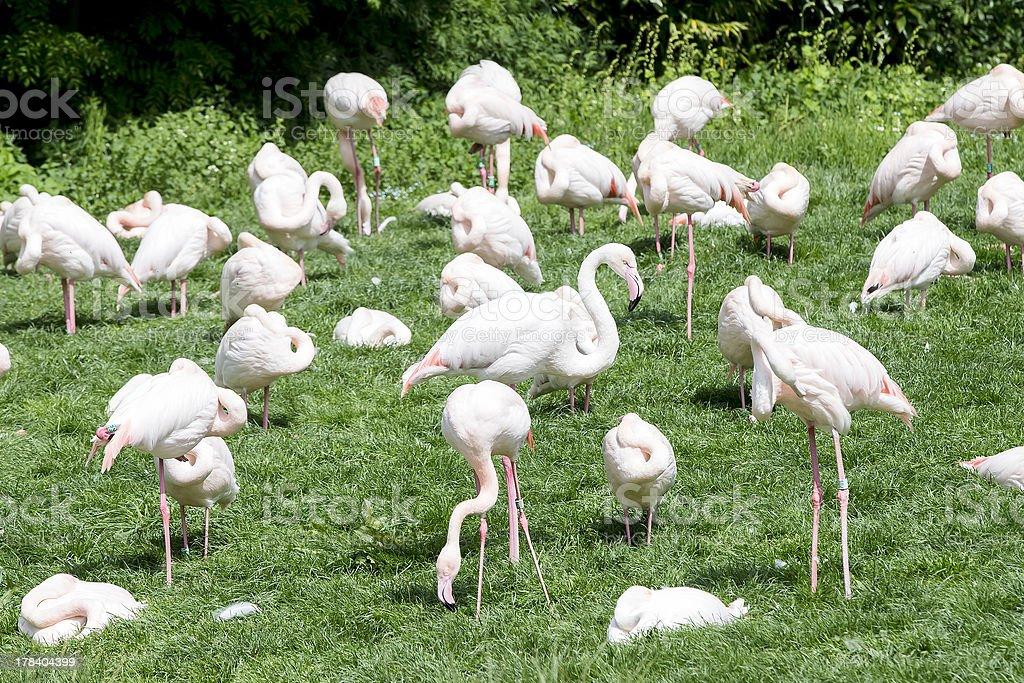 group of flamingo's stock photo