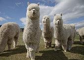 Group of fluffy white alpacas on a farm in Scotland
