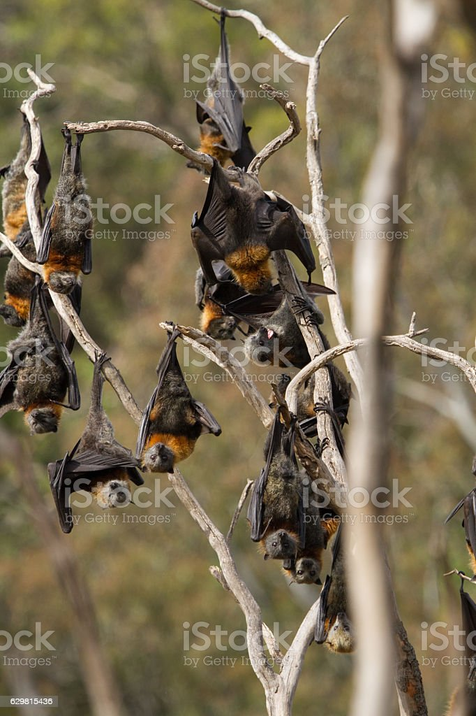 Group of Flying Foxes stock photo