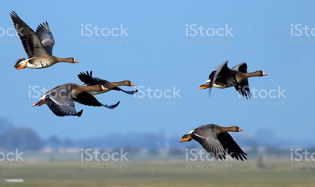 Group of flying geese on a clear day royalty-free stock photo