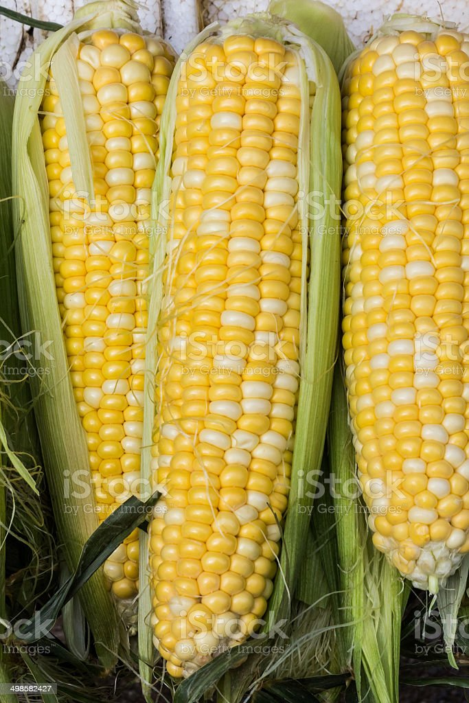 Group of fresh organic corn. royalty-free stock photo