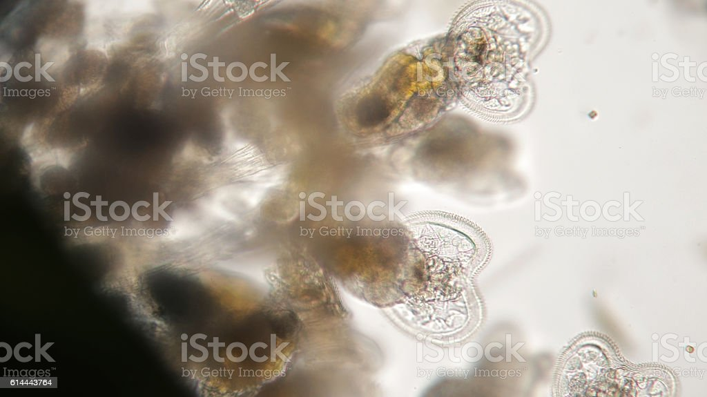Group of freshwater Rotifer or Rotifera, wheel animals. Bentic organism stock photo